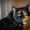 Yuna, délicate et amoureuse des caresses, Chat européen à adopter