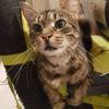 Gabrielle, Chat  à adopter
