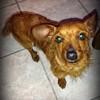 Titi, Chiot pinscher, teckel à adopter