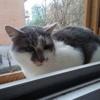 Gus, Chat européen à adopter