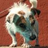 Isis, Chien jack russell terrier à adopter