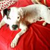 Shaya, jeune femelle croisée dogue argentin, Chien dogue argentin à adopter