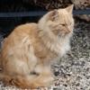 Nougat, Chat européen à adopter
