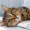 Kenzi jolie tigrée dorée, Chat  à adopter