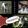 Snoopy, Chien fox-terrier à adopter