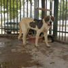 Starled, Chien mâtin espagnol à adopter
