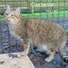 Clochette, Chat  à adopter