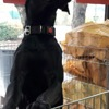Miss, Chien chien courant espagnol à adopter