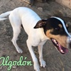 Algodon, Chien  à adopter