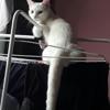 Angel, Chat européen à adopter