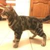 Galilée, Chat persan à adopter