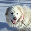 Flocon, Chien chien de montagne des pyrénées à adopter