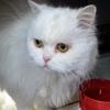Yeti - type british longhair blanc, Chat british longhair à adopter