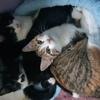 Nyan nana teddy nety en famille d'accueil, Chaton européen à adopter