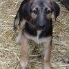 Naya, Chiot berger belge, bouvier d'appenzell à adopter