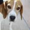 Guismo, Chien beagle à adopter