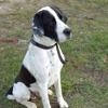 Leiko, Chien dogue allemand, labrador retriever à adopter