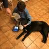Flipy, Chien labrador retriever à adopter