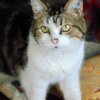 Madeleine femelle tigrée/blanc de 13 ans, Chat à adopter