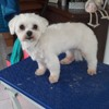 Fraizia, Chien bichon maltais à adopter
