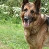Eliott, Chien berger allemand à adopter
