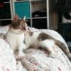 Scufi et fulga, Chat européen à adopter
