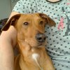 Wooffy, Chiot labrador retriever, pinscher à adopter