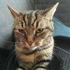 Meika, Chat européen à adopter