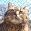 Scottie, Chat gouttière à adopter