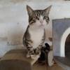Nebio, Chaton  à adopter