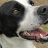 Nelson, Chien pointer anglais à adopter