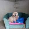 Bonnie, Chien yorkshire terrier à adopter