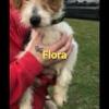 Flora, Chien fox-terrier à adopter