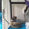 3 rates réhabilitées de laboratoire (noires et blanches), Animal à adopter