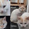 Ravioli et calinou, Chat  à adopter