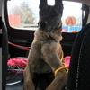 Kangoo, Chien berger belge à adopter