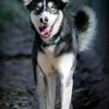 Azoya, Chien husky sibérien à adopter