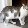Azalee femelle tigré/blanc de 2 ans 1/2, Chat à adopter