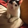Nila, Chaton européen à adopter