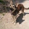Vaiana, Chien husky sibérien à adopter