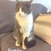 Romeo le câlin, Chat  à adopter