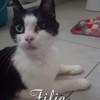 Fifie, Chat européen à adopter