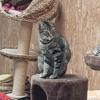 Nashabis  adoptée, Chat européen à adopter