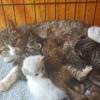Odyssée adoptee, Chat européen à adopter