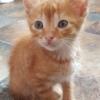 Orion et d'autres chatons plus jeunes noir et blanc et etc..., Chaton européen à adopter