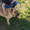 Sharpei, Chien shar pei à adopter