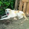 Sadie, Chien mâtin espagnol à adopter