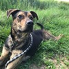 Sultan, Chien beauceron à adopter