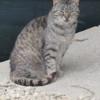 Patapouf, Chat européen à adopter