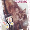 Guizmo, Chat bouvier des flandres, maine coon, européen à adopter
